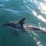 Cute dusky dolphins riding the waves from the boat