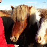 feeding Icelandic horses