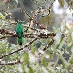 Crested Quetzal near Cosanga