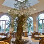Olive tree in the middle of the conservatory
