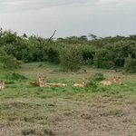some of the lions in the conservancy