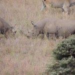Two fighting Rhino