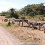 A real Zebra crossing...!!!