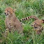 cheetah family relaxation
