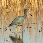 Little Blue Heron Stalking
