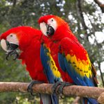 the resident Macaws