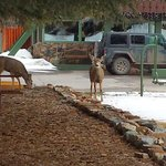 Deer in the Motel Courtyard
