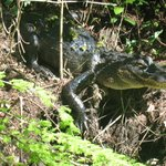Young gator at Corkscrew Swamp, March 2014