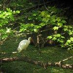 White Ibis at Corkscrew Swamp, March 2014