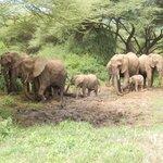 Elephants and Favorite Mud Hole