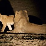 Lions on the night hunt