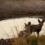 Wild dogs at water hole