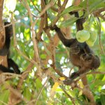 Howler monkey family in the guava tree
