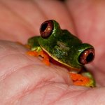 Cool tree frog we found at night on the grounds