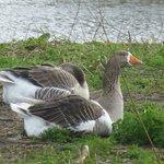 Geese at capstone farm park