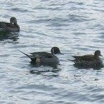 池に色々な種類の水鳥が来ます