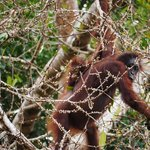 Orangutans across the river from Barefoot