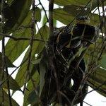 Mango snake