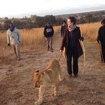 Walk with lions - remember to pack warmly for winter.