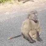 Chacma baboon basking in the sun