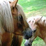 I cavalli nei prati antistanti l'agristurismo La Pera