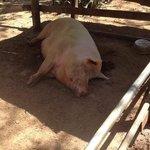 Lola the mascot pig