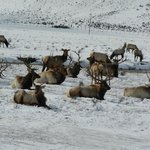 Nat'l Elk Refuge