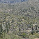 Valley of saguaros