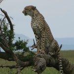 Cheetah on a branch