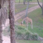 The giraffe outside my window!