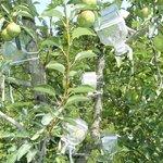 Le verger de poires Manguin