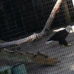 1 wing bald eagle. Very awesome.
