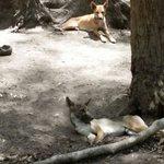 Lazy dingos