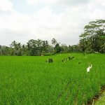 Some of the paddy fields seen during our ride
