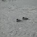 loons on Lake Superior