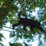 Howler Monkey in the tree near the pool.