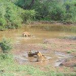 Game drive: Hyenas taking a bath