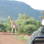 Game drive: giraffe