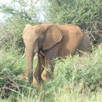 Game drive: Elephant