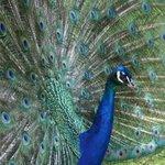 Paon Bleu (crédit ABD)