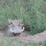 Warthog emerging from a burrow