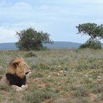 Lion - what a beauty!