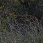 Jaguar in the Bush
