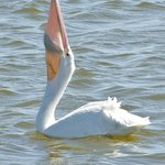 White Pelican swallowing a fish
