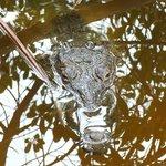 Il mega coccodrillo femmina