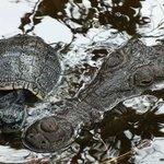 La tartarugona e il mega coccodrillo femmina