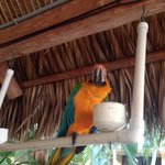 Parrot at tiki bar