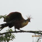 The pre- historic Hoatzin bird
