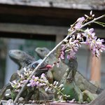 Iguana's we saw on the Iguana Tour ... a preservation program