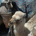 camel at Market